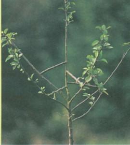 Раздвигание ветвей