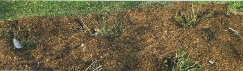 Саженцы роз в открытом грунте