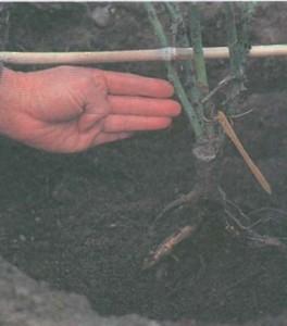 Замеры для высадки кустов роз