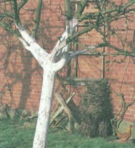 Побеленные стволы деревьев