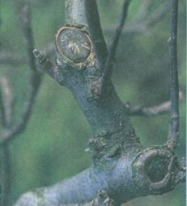 Сучки деревьев