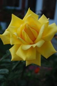 Роза сорта Berolina