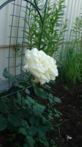 Сорт Schneewalzer в полном цвету