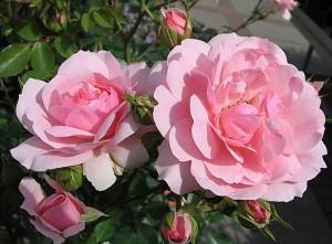 Дикая роза сорта Bonica-82