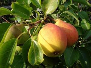 Плоды груши на ветках