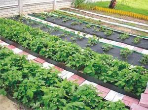 Ухоженные садовые грядки