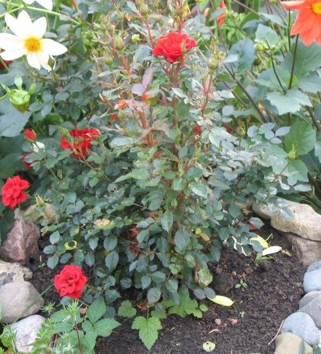 Розы на садовой клумбе