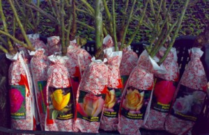 Готовые к посадке саженцы роз