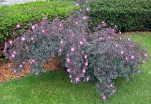 Сизая роза на садовом участке