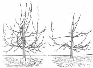Деревце растет после обрезки