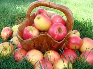 Богатый урожай садовых яблок