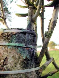 Подвой на дереве