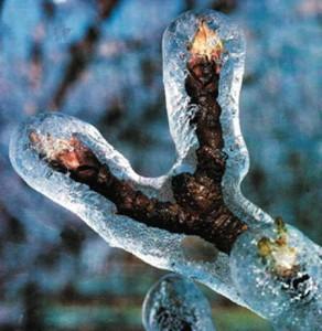 Растение после сильных заморозков