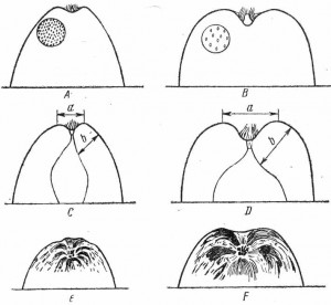 Признаки спелости яблок