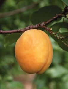 Садовые абрикосы на дереве