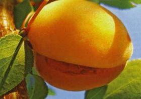 Плоды абрикосов трескаются