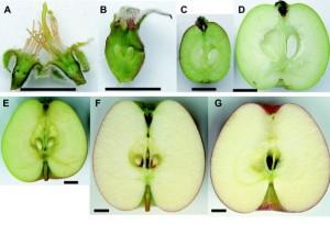 Развитие плодов деревьев
