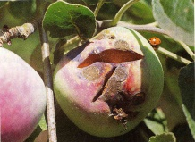Трещины на яблоках