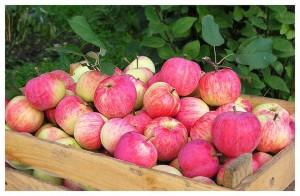 Урожай садовых яблок