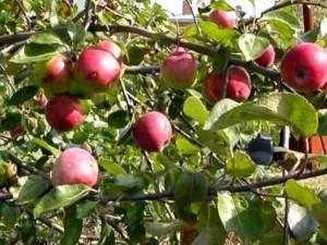 Сорта дачных яблок