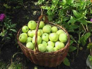 Время сбора урожая яблок
