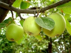Уход за плодовым деревом