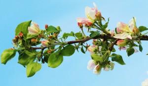 Ветви плодовых деревьев