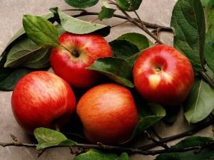 Урожайность яблонь в саду