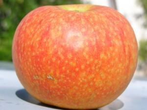 Садовое яблоко после сбора урожая