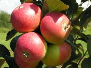 Влияние подвоя на опадение плодов
