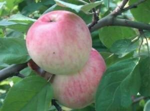 Применение ростовых веществ для яблонь