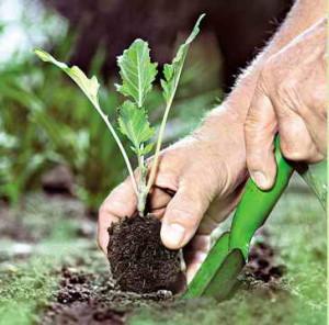 Высаживание капусты на дачную грядку