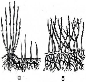 Схема корневой системы смородины и крыжовника