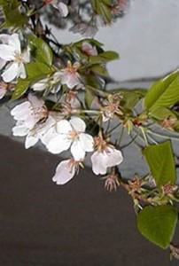 Цветение вишни в саду