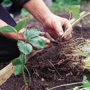 Уход за земляникой в саду