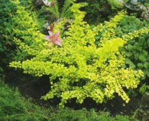 Цветущий куст на загородном участке