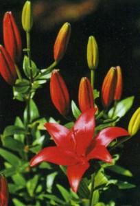 Лилия в период цветения