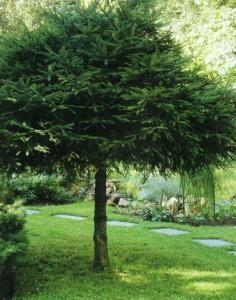 Елка на садовом участке