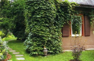 Озелененный угол дачного дома