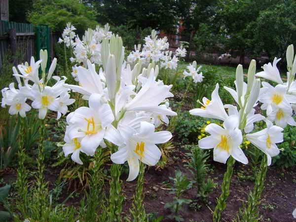 Цветение лилейника