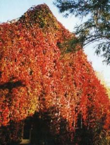 Девичий виноград на стенах загородного дома
