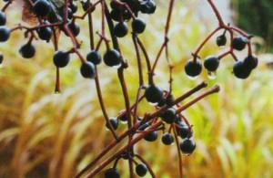 Плоды девичьего винограда нельзя употреблять в пищу