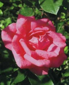 Роза на садовой клумбе