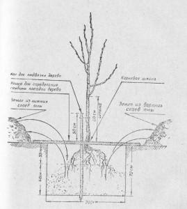 Схема посадки дерева в грунт