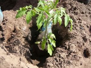 Процесс высадки томатов