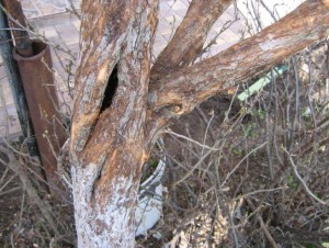 Дупло образовалось в дереве