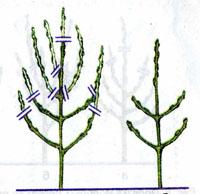 Схема обрезки двухлетнего плодового дерева