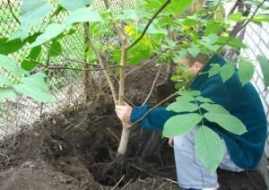 Высадка плодовых деревьев
