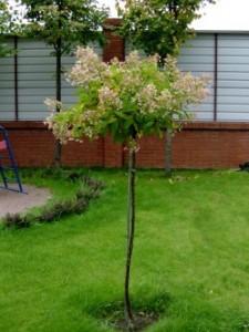 Высаженное в саду деревце