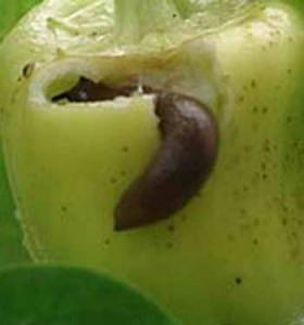Уничтожение урожая слизнями